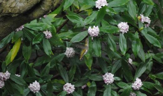 hummer daphne