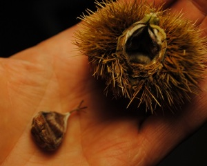 Seed of the Chinese Chestnut