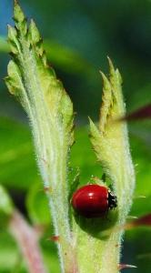 ladybug rose