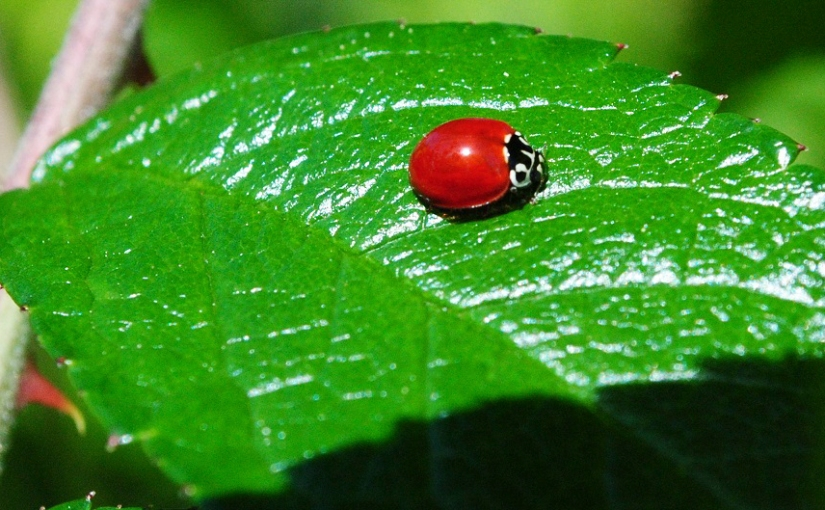 The Spotless Ladybug and Other Garden Insects