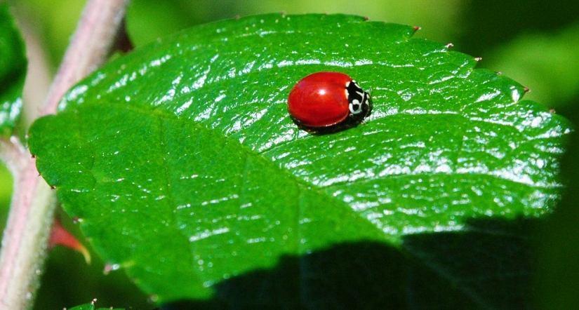 the spotless ladybug and other garden insects  u2013 natural views