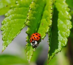 ladybug7