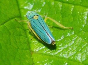 leafhoppers