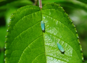 leafhoppers3