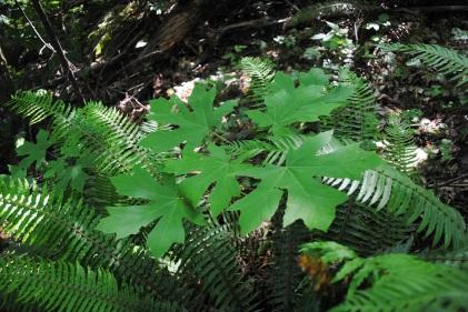 A baby Big-leaf Maple