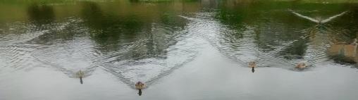 duck-vees