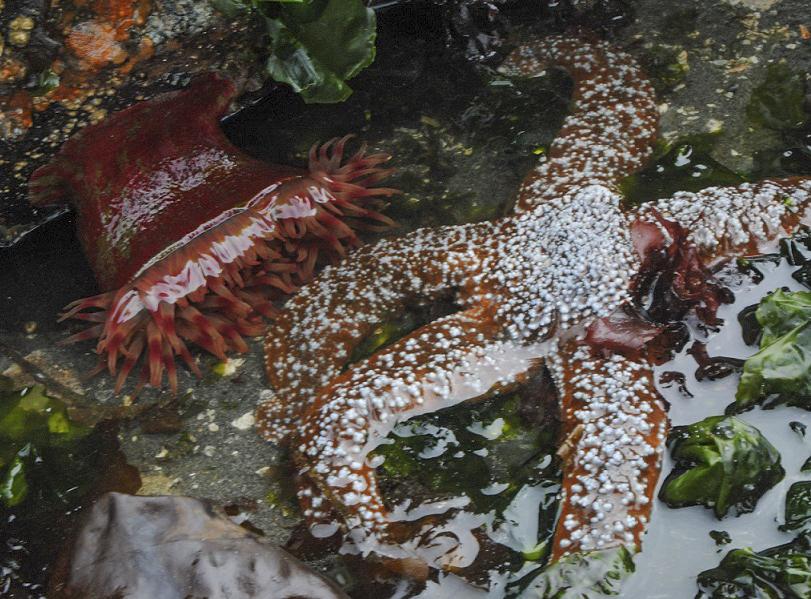anemone star2